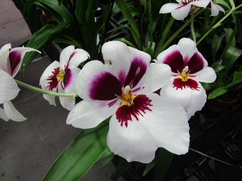 Orchideenausstellung in Frankfurt im Palmengarten 2016 - Seite 2 Img_0642
