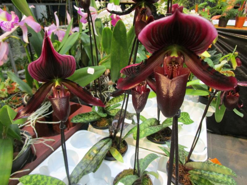 Orchideenausstellung in Frankfurt im Palmengarten 2016 - Seite 2 Img_0644
