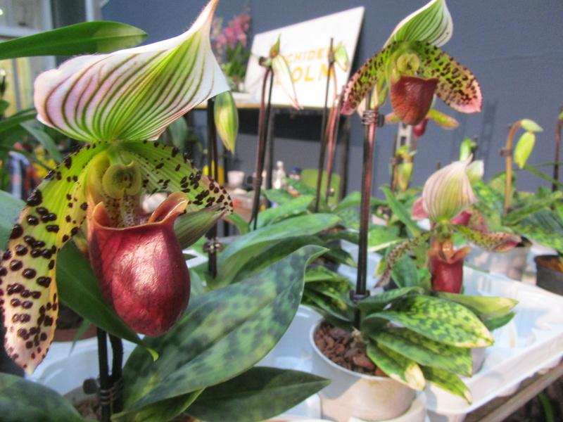 Orchideenausstellung in Frankfurt im Palmengarten 2016 - Seite 2 Img_0646