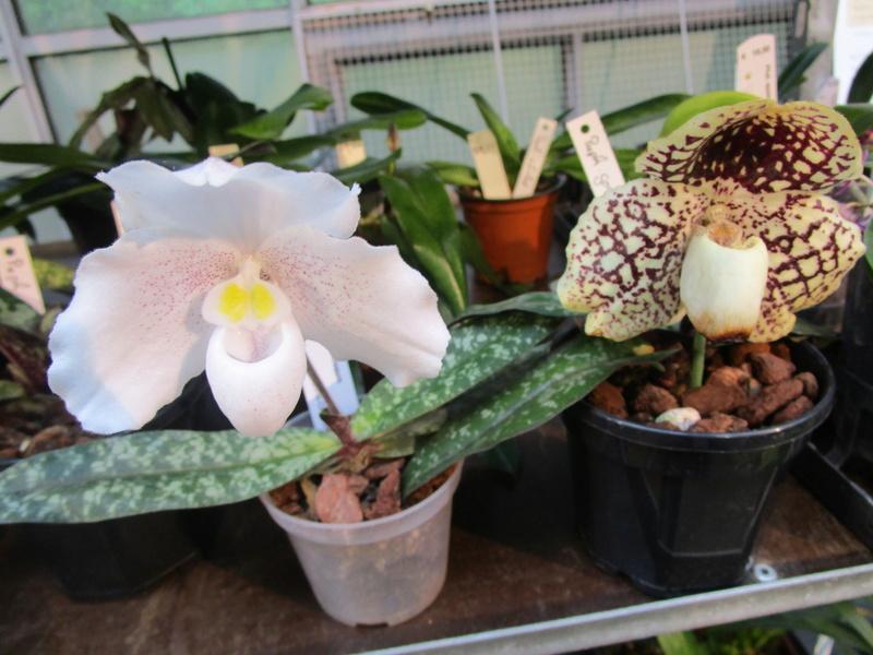 Orchideenausstellung in Frankfurt im Palmengarten 2016 - Seite 2 Img_0650