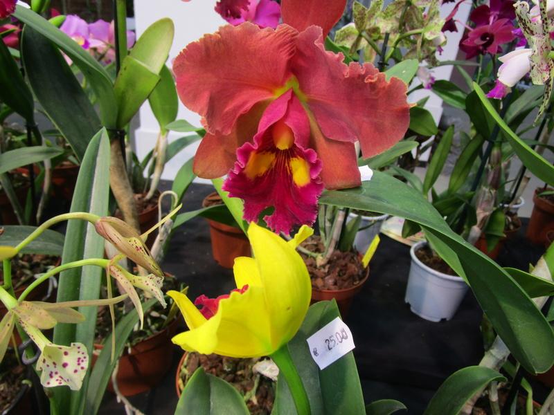 Orchideenausstellung in Frankfurt im Palmengarten 2016 - Seite 2 Img_0657