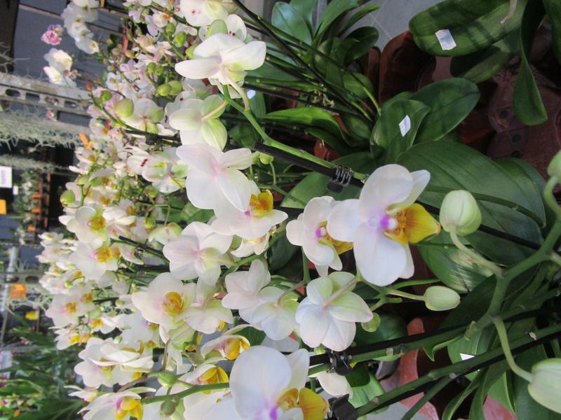 Orchideenausstellung in Frankfurt im Palmengarten 2016 - Seite 2 Img_0674