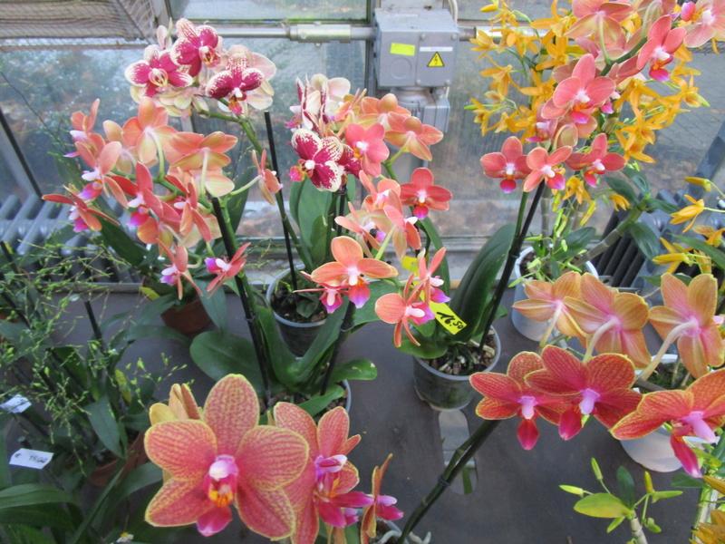 Orchideenausstellung in Frankfurt im Palmengarten 2016 - Seite 2 Img_0677
