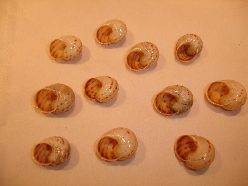 Allognathus graellsianus (L. Pfeiffer, 1848) Dsc06229