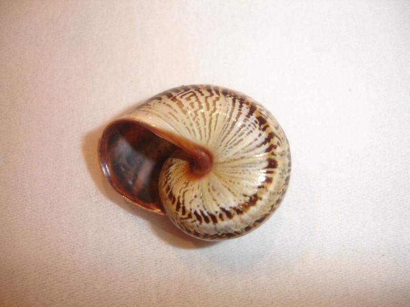 Allognathus balearicus balearicus (Rossmasser, 1838) Dsc06236