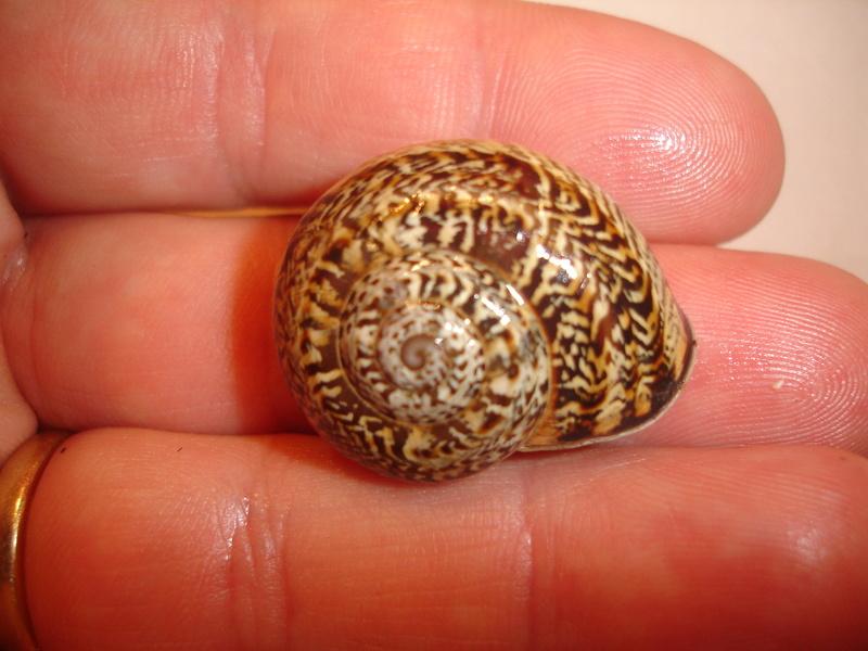 Allognathus balearicus balearicus (Rossmasser, 1838) Dsc06243