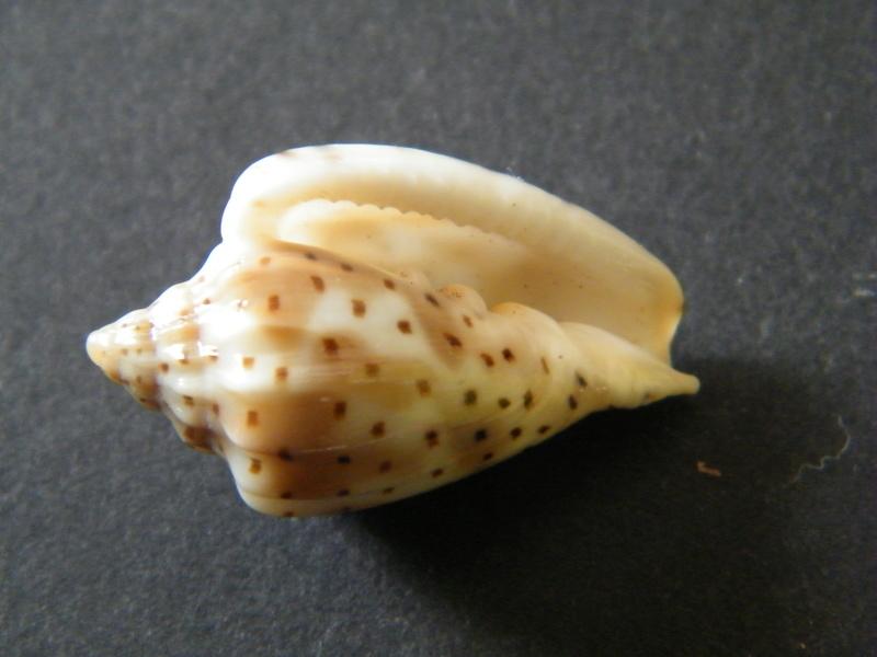 Glabella pseudofaba - (Sowerby II, 1846) Dscf2322