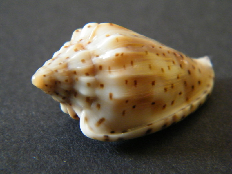 Glabella pseudofaba - (Sowerby II, 1846) Dscf2323