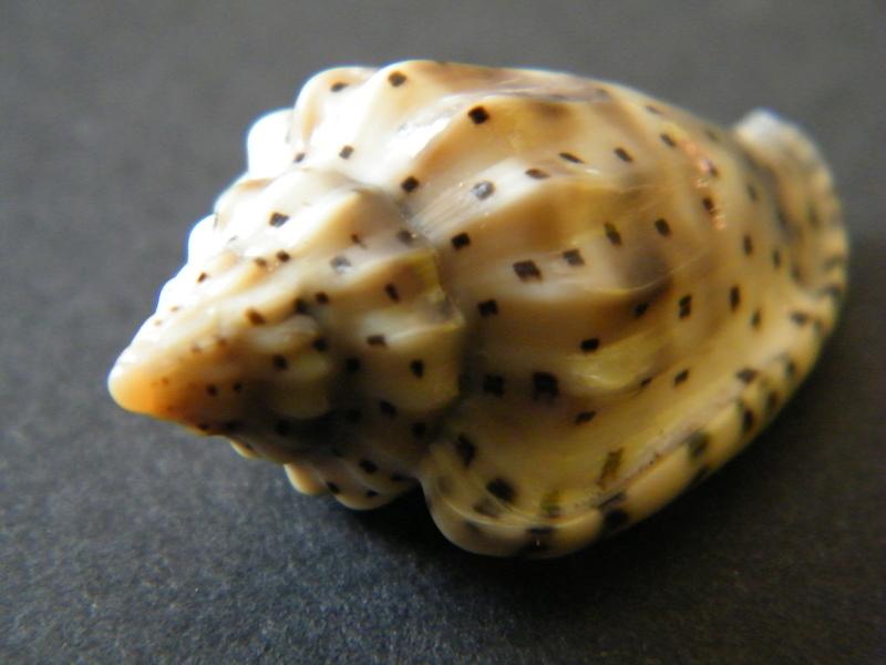 Glabella pseudofaba - (Sowerby II, 1846) Dscf2324