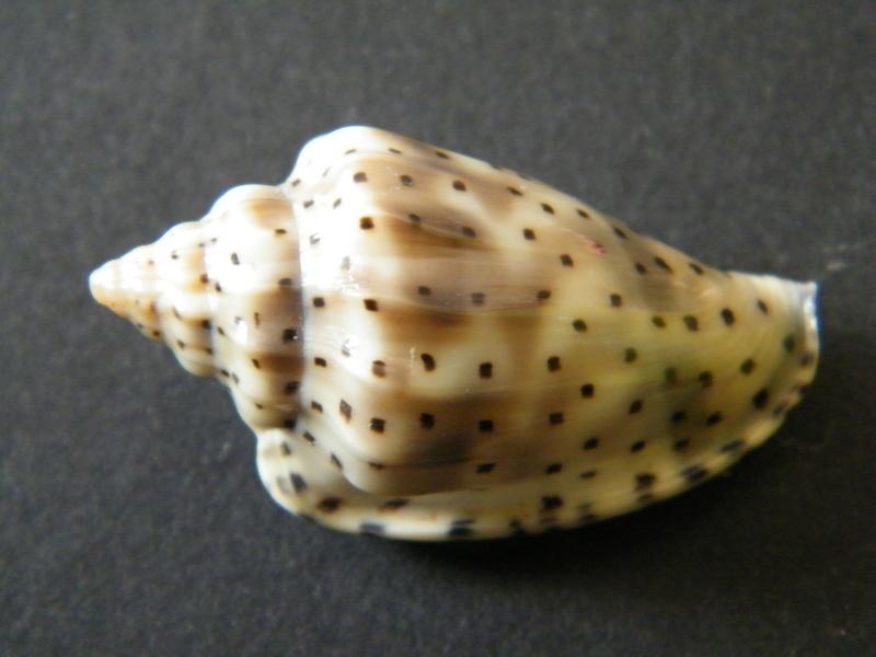 Glabella pseudofaba - (Sowerby II, 1846) Dscf2326