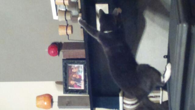 KAIRA, très belle chatte de 2 ans typée chartreuse et blanche - Page 2 Photo210