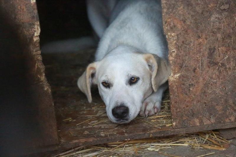 LAIKA née en 2012 - (Alina) - Adoptée via la SPA Sud Alpine    Laika110