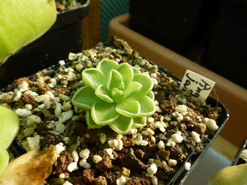 photos de pinguicula Jauvam10