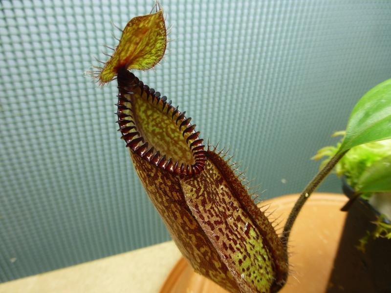 photos de nepenthes P1020634