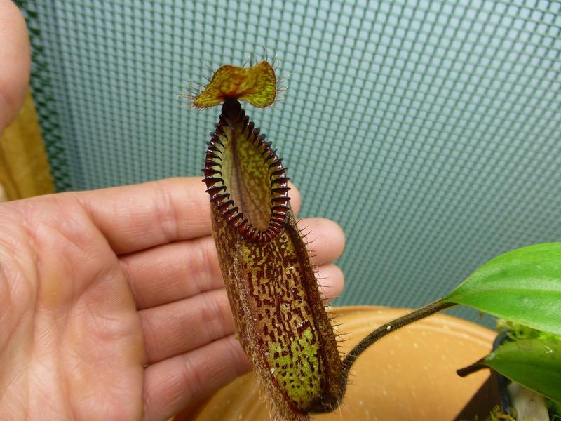 photos de nepenthes P1020636