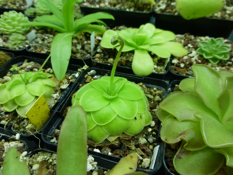 photos de pinguicula Rectif11