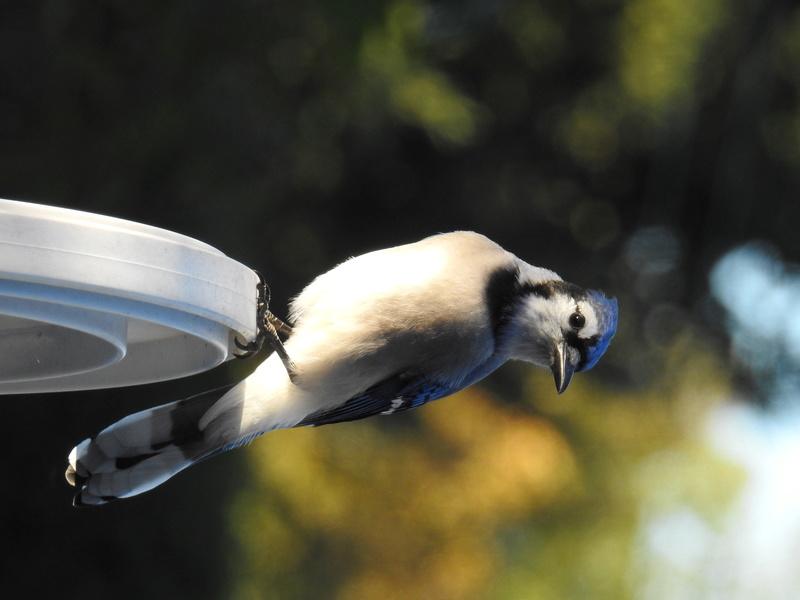 Petits oiseaux du Québec, Canada Dscn0710