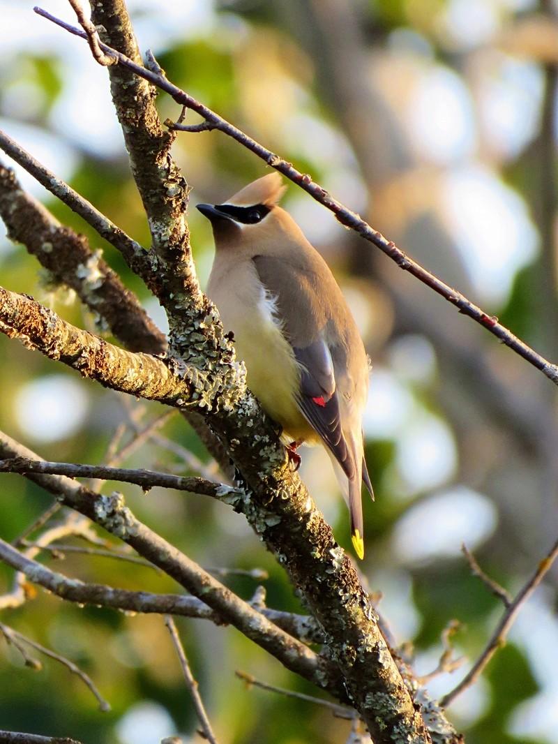 Petits oiseaux du Québec, Canada Img_3210