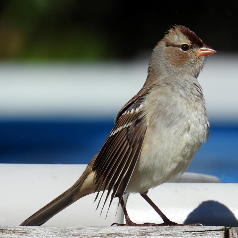 Petits oiseaux du Québec, Canada Img_3410