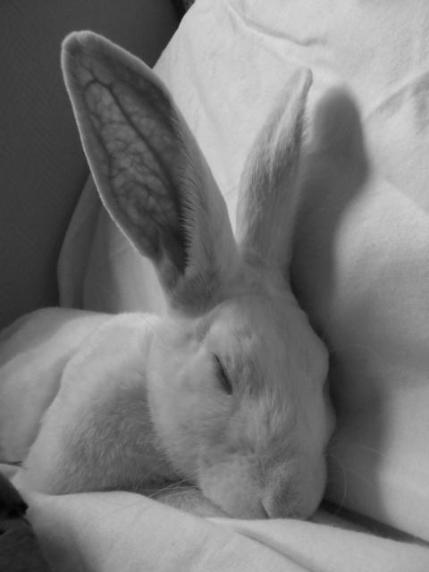 [ADOPTE] Crunch, lapin de laboratoire à parrainer 13061010