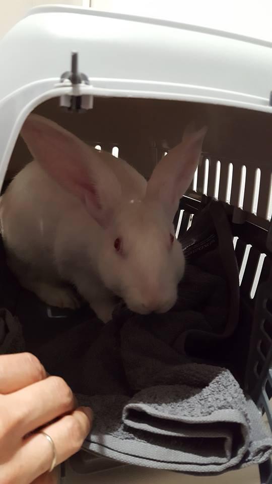 Association White Rabbit- Réhabilitation des lapins de laboratoire - Page 3 14591610
