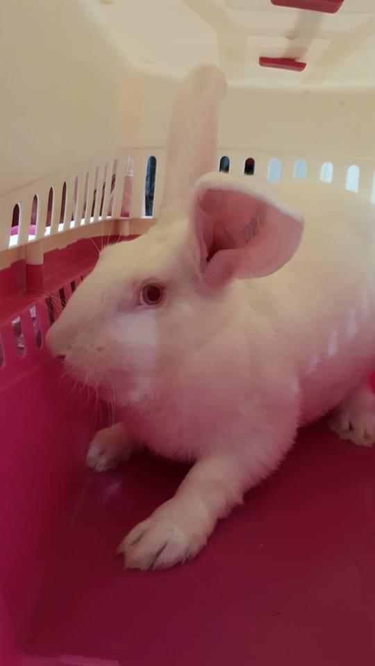 Association White Rabbit- Réhabilitation des lapins de laboratoire - Page 3 14717110