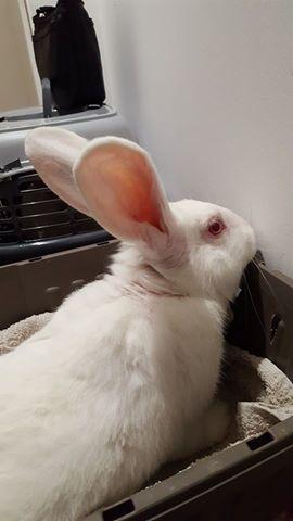 Association White Rabbit- Réhabilitation des lapins de laboratoire - Page 3 14724310