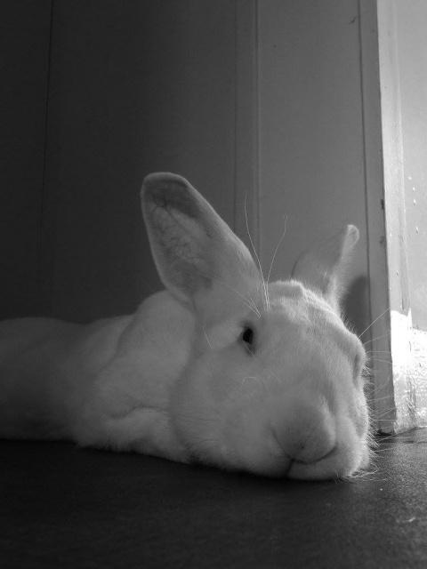 [ADOPTE] Crunch, lapin de laboratoire à parrainer 18737210