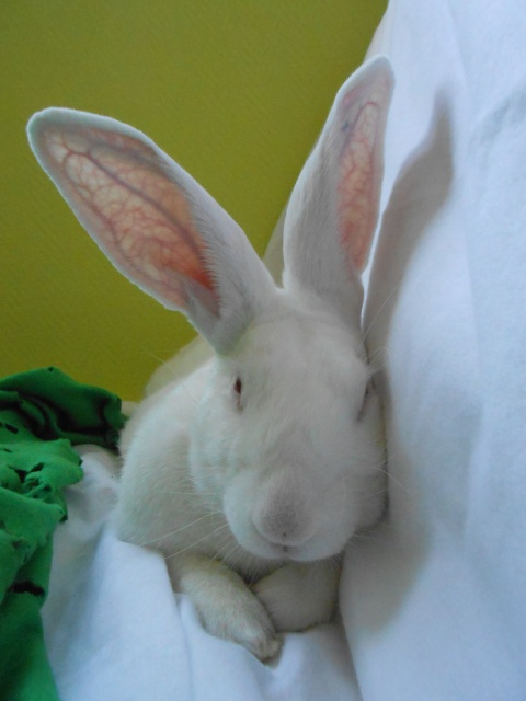 [ADOPTE] Crunch, lapin de laboratoire à parrainer 41170610