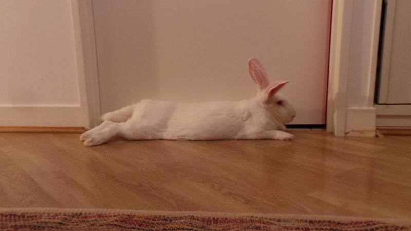 [ADOPTE] Bambou, jeune lapin de laboratoire 58377110