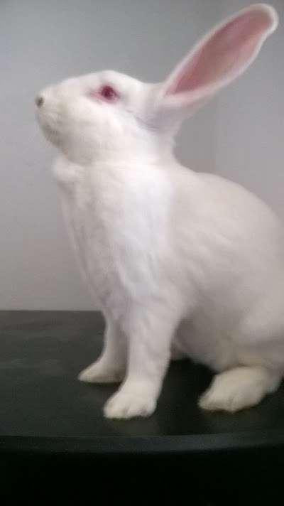 [ADOPTE] Berlioz, jeune lapin de laboratoire à adopter Img_1416