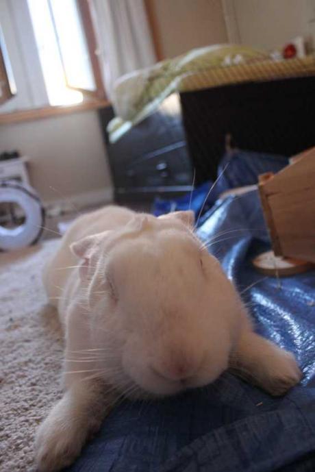 [ADOPTE] Chewie, lapin réhabilité de laboratoire  Img_1418
