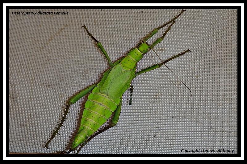 Heteropteryx dilatata (P.S.G n°18) - Page 4 Hetero10