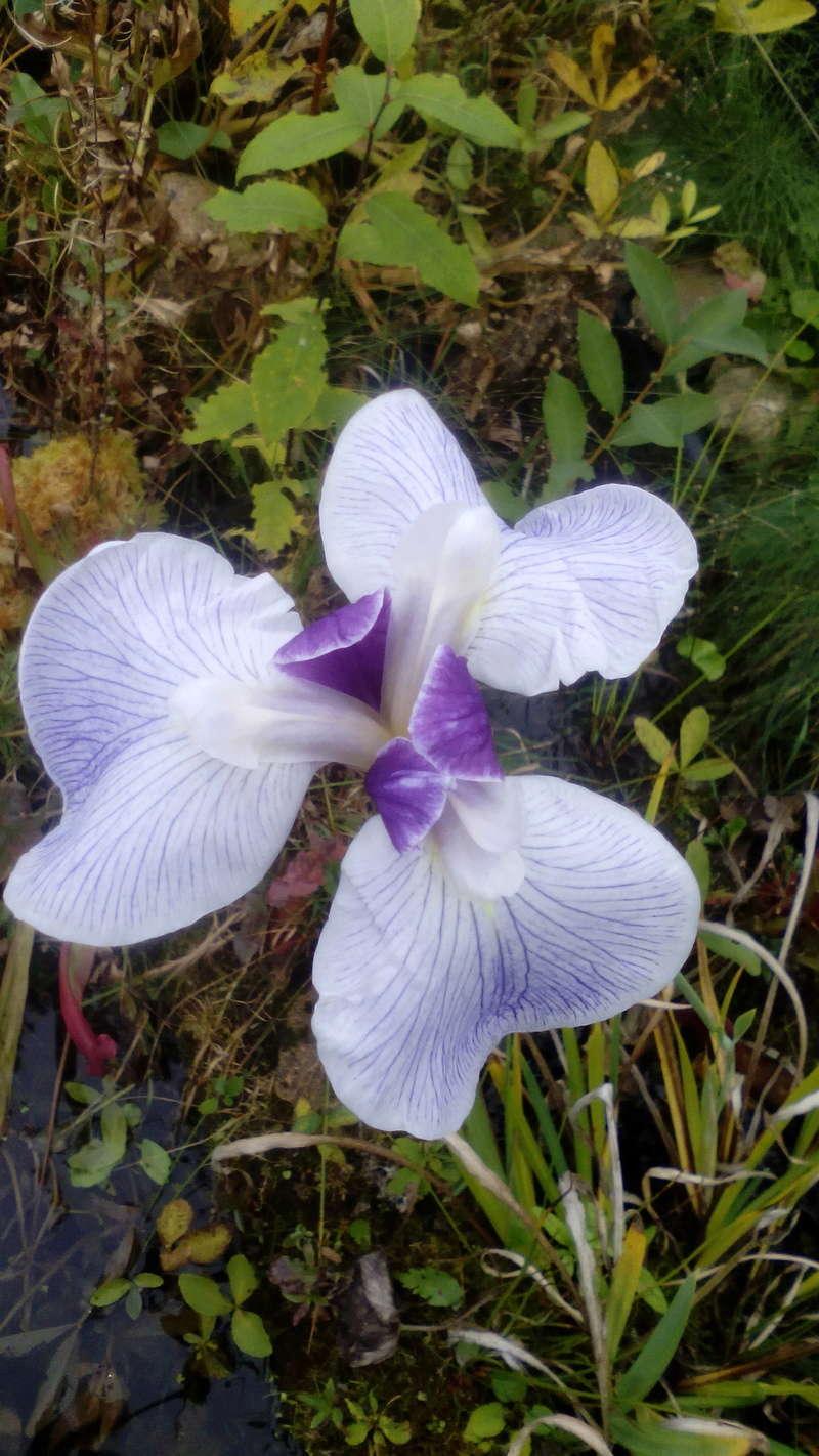 Schwertliliengewächse: Iris, Tigrida, Ixia, Sparaxis, Crocus, Freesia, Montbretie u.v.m. - Seite 14 13_10_10
