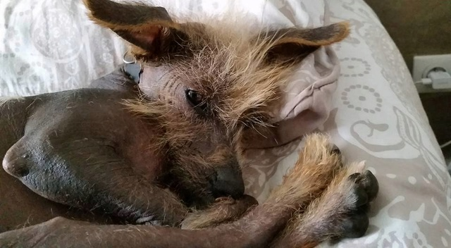 ERNEST petit chien chinois à crête tout rigolo  Adopté  Ernest10