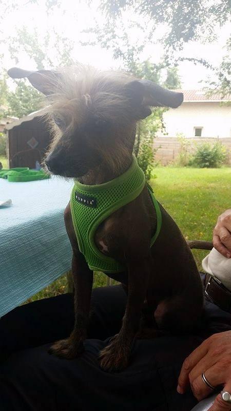 ERNEST petit chien chinois à crête tout rigolo  Adopté  Ernest11