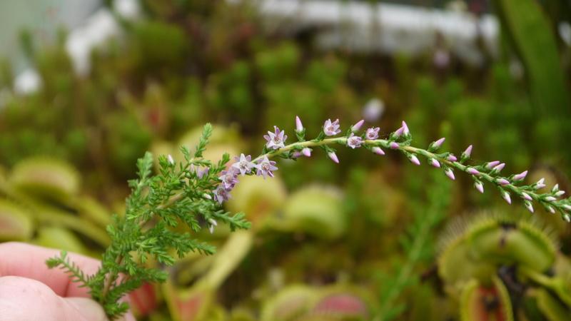 identification de plante P1040510