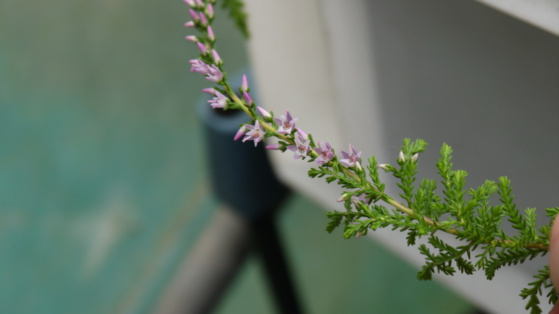 identification de plante P1040511