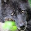 Les images des loups Imghyp10