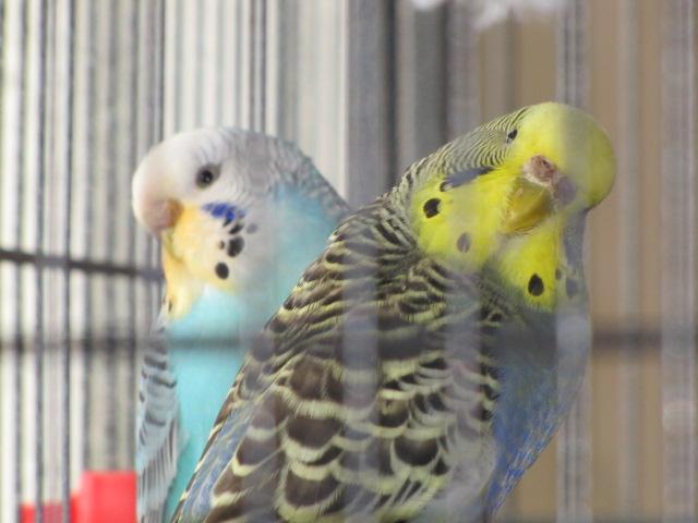 grisette et bluee Img_9911