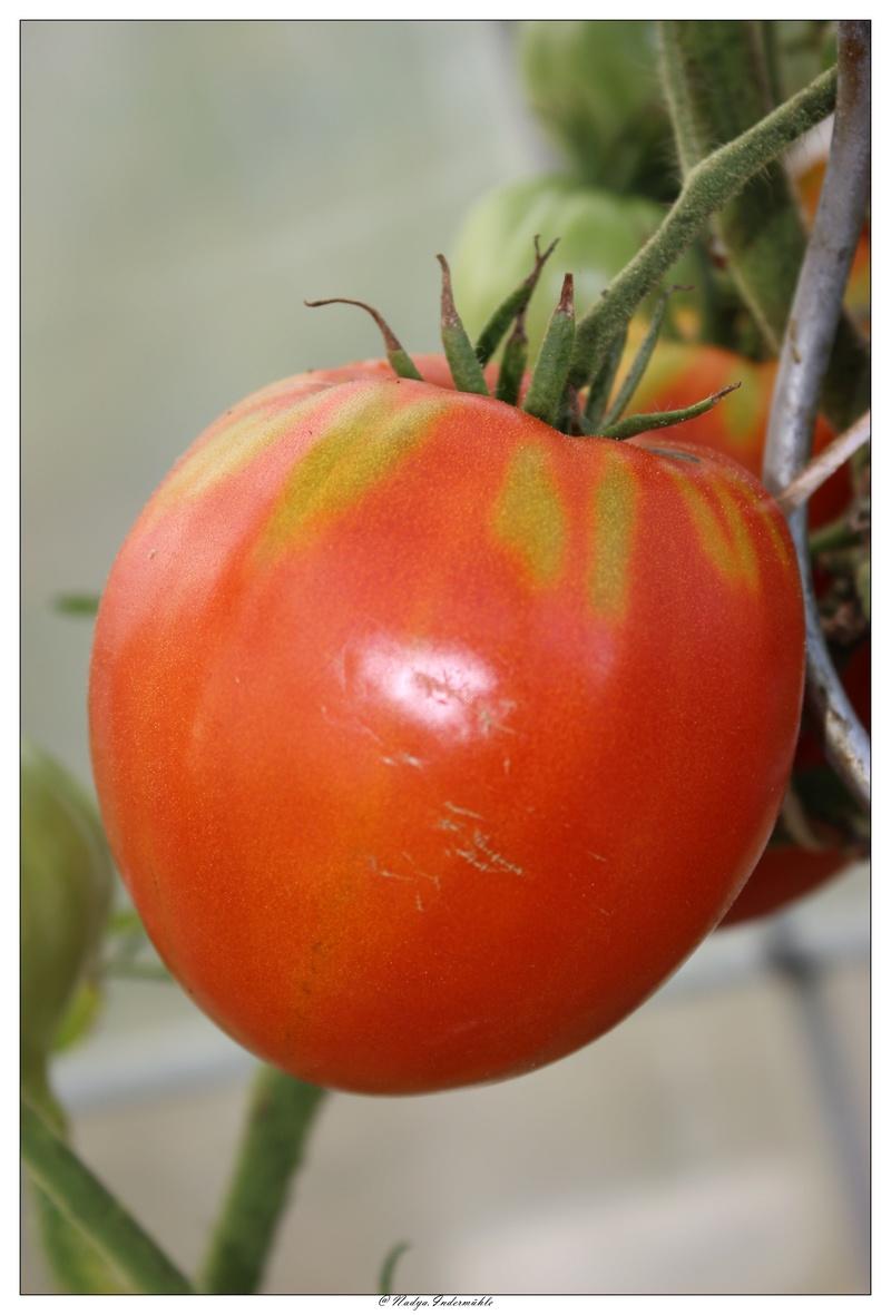 La tomate Cadrim14