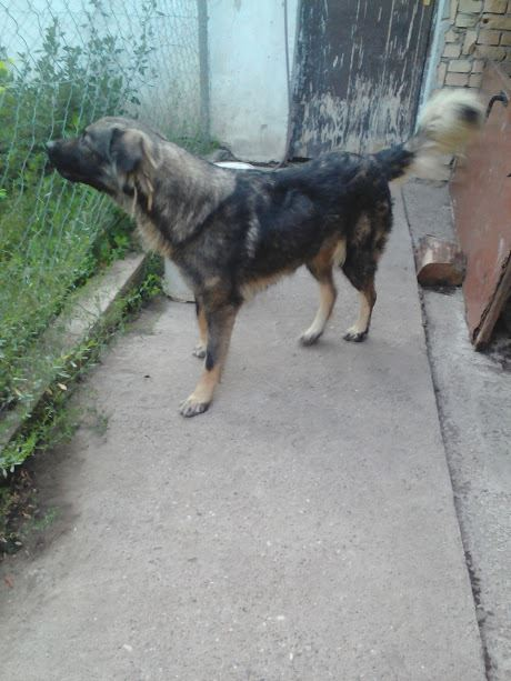 PAOLA - PAOLA F-X-Sharpla, taille grande, née 2013 (SERBIE refuge Bella) PRETE A VOYAGER Paola_21