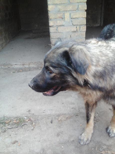 PAOLA - PAOLA F-X-Sharpla, taille grande, née 2013 (ex-GORDANA) (SERBIE refuge Bella) PRETE A VOYAGER Paola_23