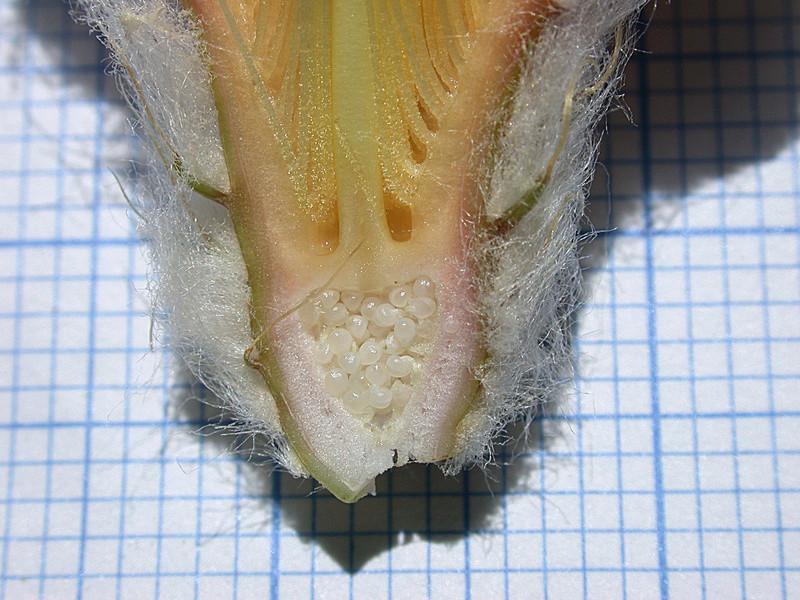 Astrophytum asterias Asgonz11
