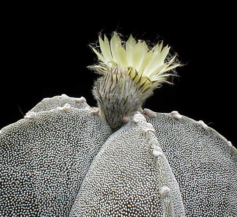 Astrophytum myriostigma subsp. tamaulipense Asmybl10