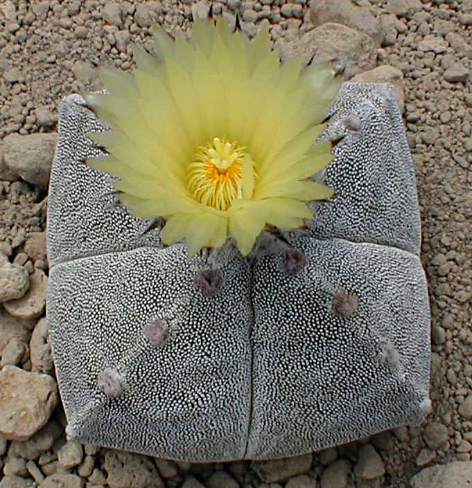 Astrophytum myriostigma subsp. tamaulipense Asmybl11