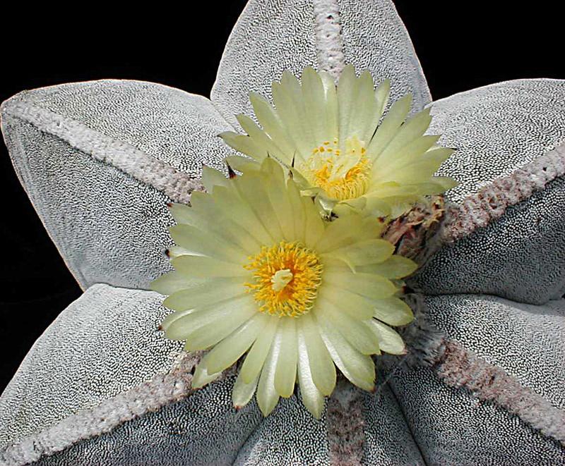 Astrophytum myriostigma subsp. tamaulipense Asmybl12