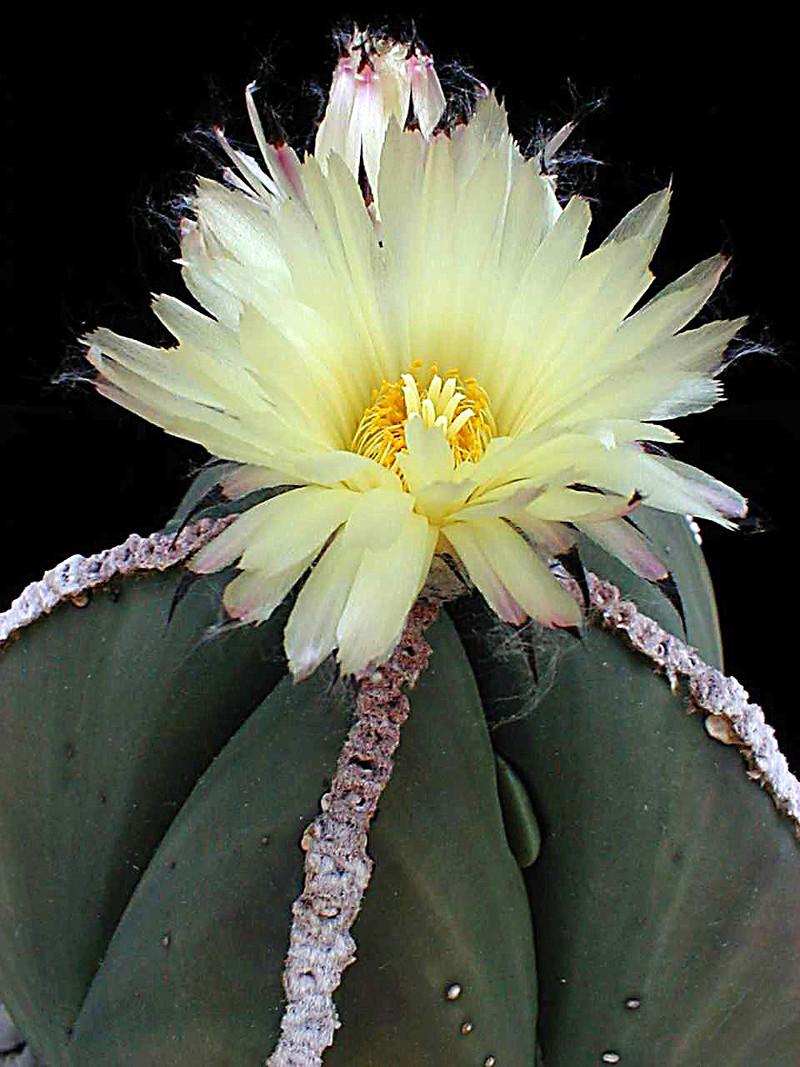 Astrophytum myriostigma var. nudum Asmynu10