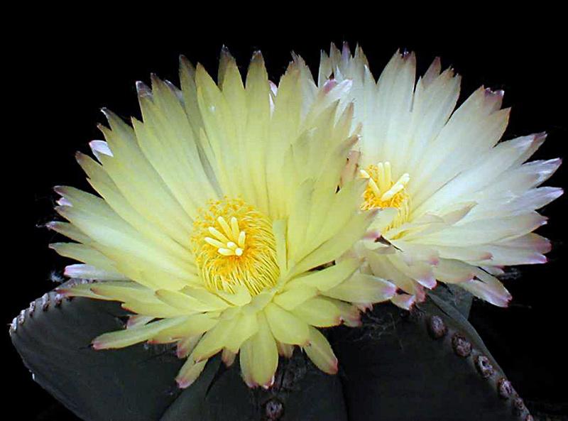 Astrophytum myriostigma var. nudum Asmynu11