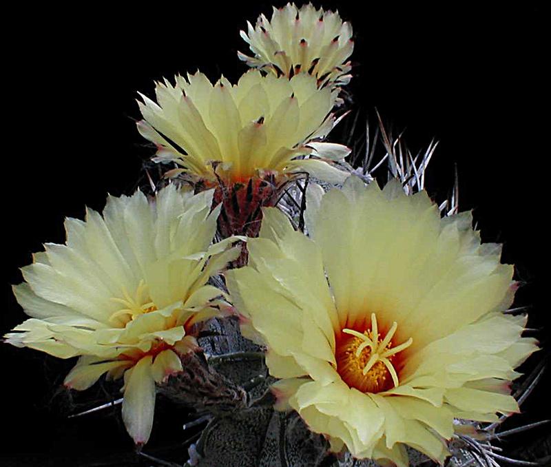 Astrophytum capricorne var. niveum Asnive10